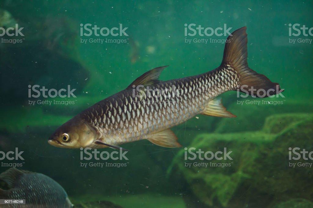 Hoven's carp (Leptobarbus hoevenii) stock photo
