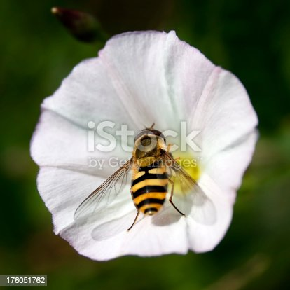 A hover fly in a Field Bindweed flower (Convolvulus arvensis) - they resemble honey bees but are not of the same family. Motion blur on the hover fly.Some insects from my portfolio. Please see my flowers lightbox below for many more flowers.