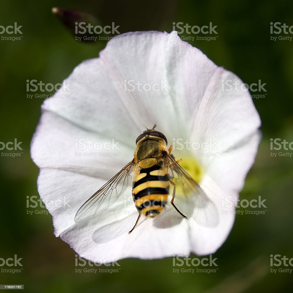 Hover fly in a bindweed flower stock photo