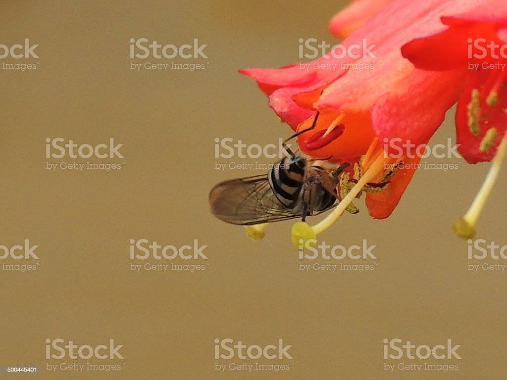 Hover fly in honey suckle royalty-free stock photo