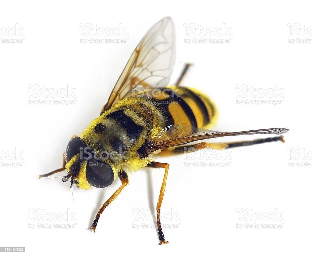 Hover fly Myatropa florea stock photo