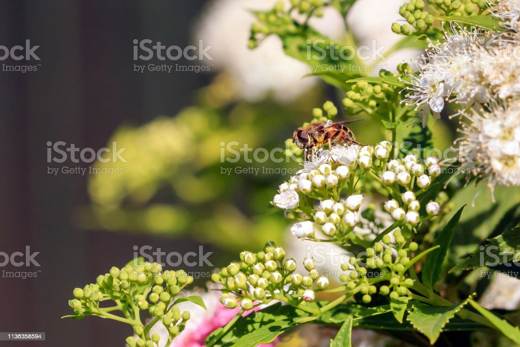 Hover fly Sunlit Hover fly on on white flowers Animal Stock Photo
