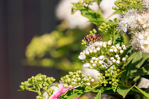 Hover Fly Stock Photo - Download Image Now