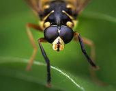 Hoverflies Syrphus macro. Green background.
