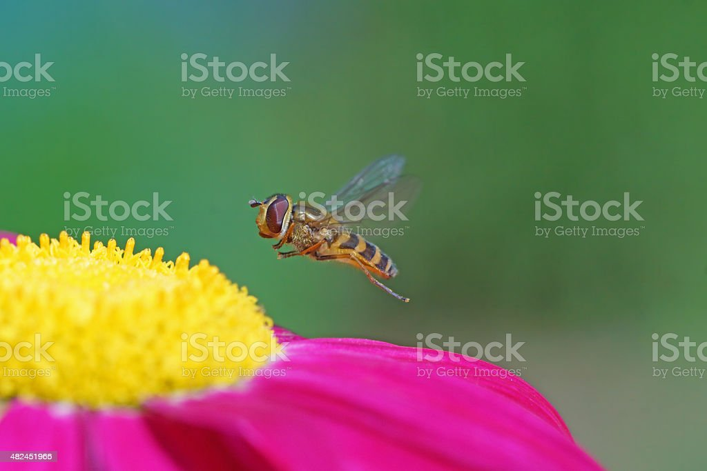 Hoverfly at the fly stock photo