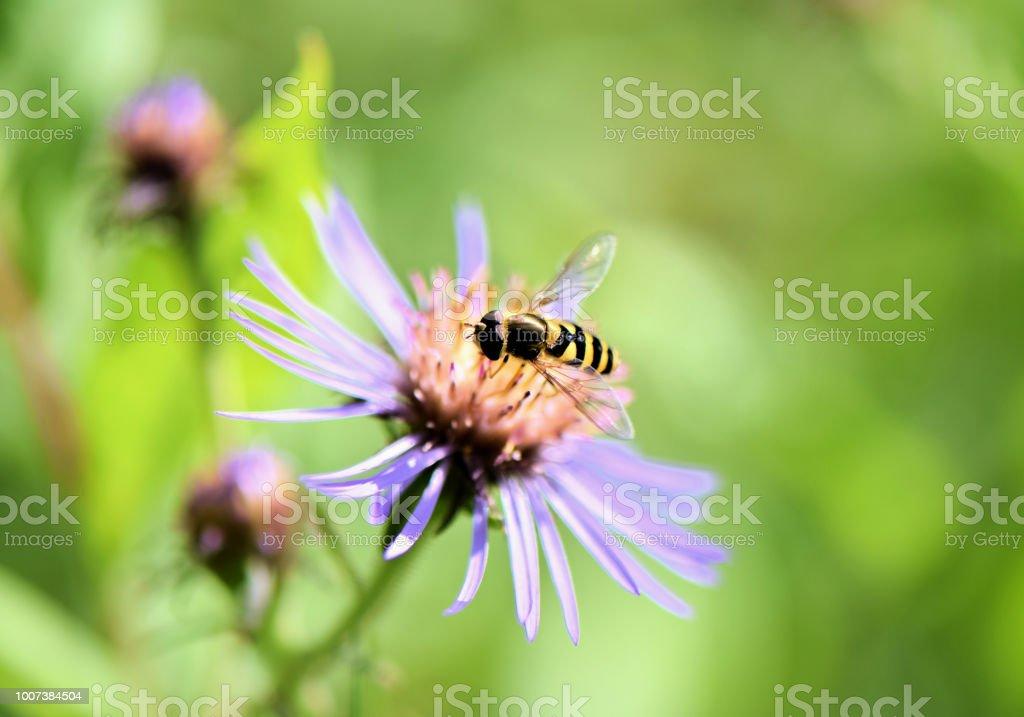 Hoverfly ocupado cosecha de flor de Aster púrpura en Prado - foto de stock