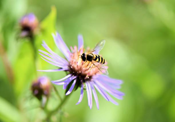 hoverfly upptagen skörd från lila aster blomma i äng - biologisk mångfald bildbanksfoton och bilder