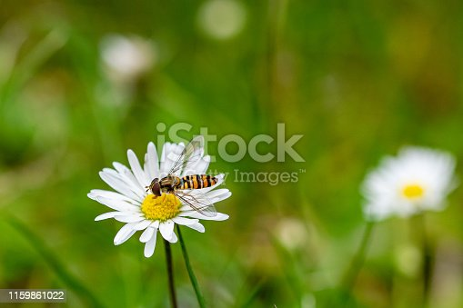 Hoverfly (Syrphid fly, Flower fly) collecting flower nectar from a daisy