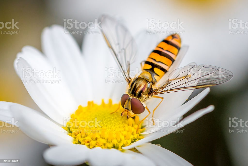 hoverfly eating from a daisy flower stock photo