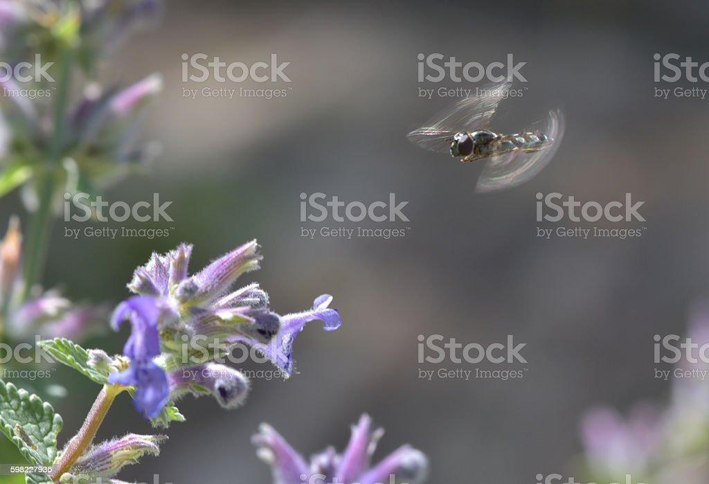 Episyrphus Balteatus em voo foto royalty-free