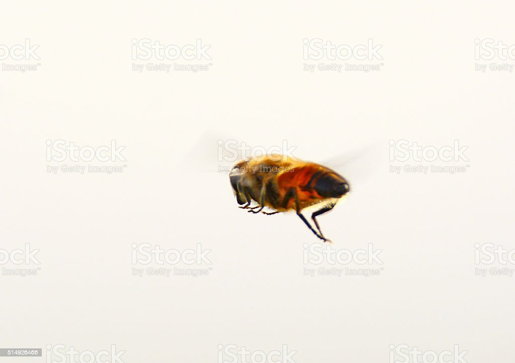 Hover-fly in mid air stock photo