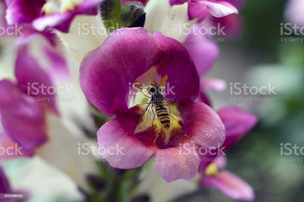 Hoverfly inside flower calyx ( Snapdragon ) royalty-free stock photo