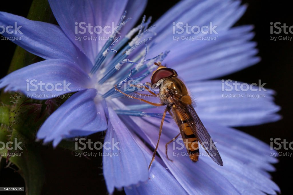 Hoverfly is gathering nectar from chicory flower. stock photo