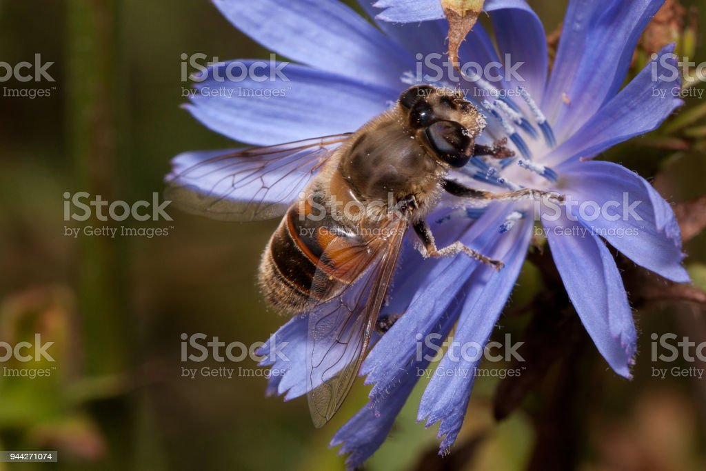 Hoverfly is sitting on a purple chicory flower. stock photo