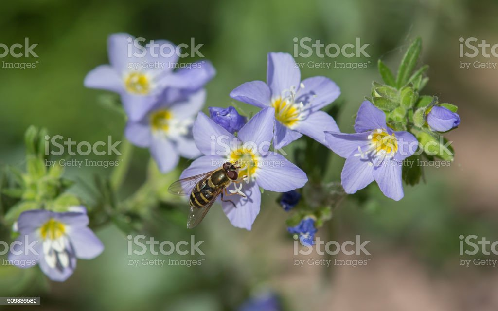Hoverfly & Jacob's Ladder stock photo