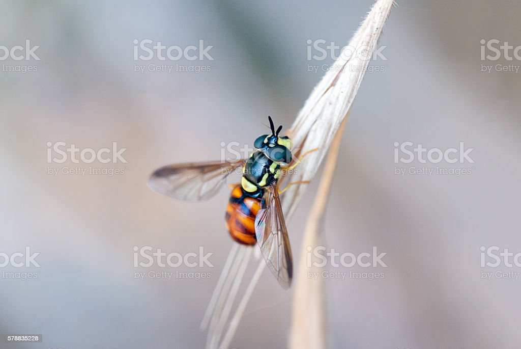 Hoverfly on a branch stock photo