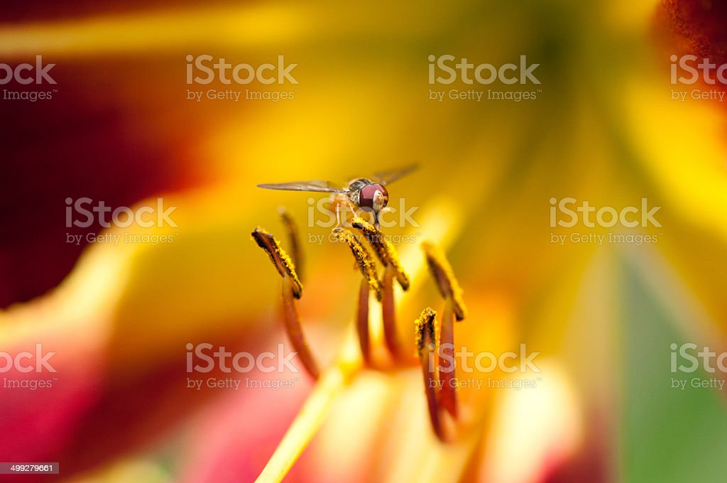 hoverfly on a colorful daylily sucking nectar stock photo