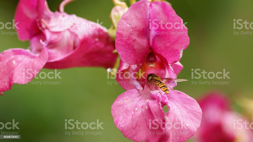 Hoverfly on a flower of Impatiens glandulifera (Policeman's helmet) stock photo