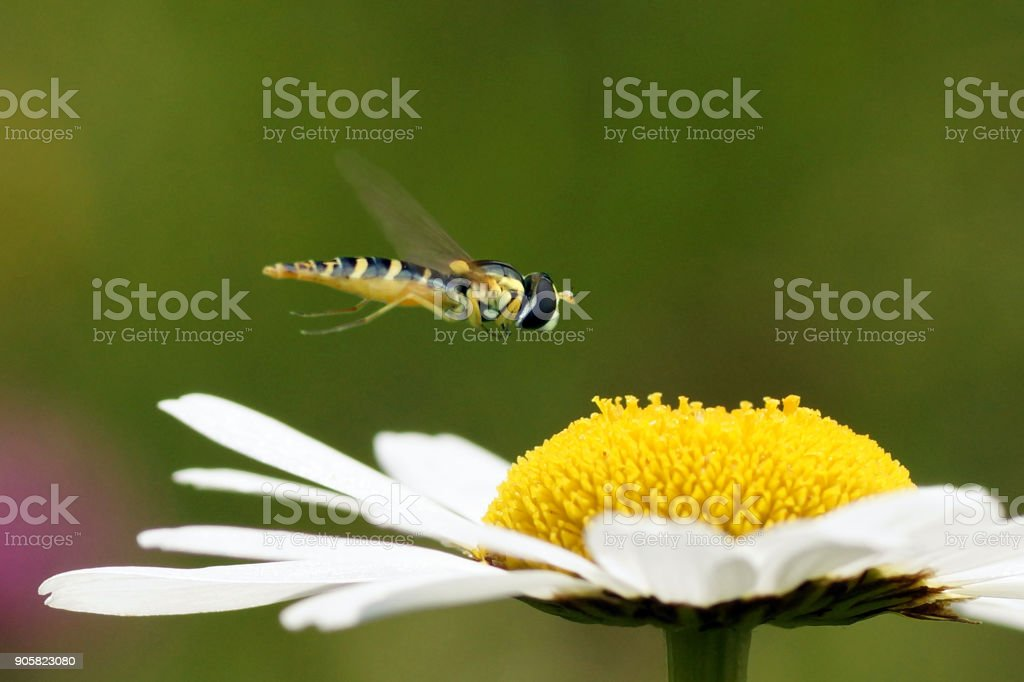 Hoverfly on a flower of Leucanthemum vulgare  (oxeye daisy) stock photo