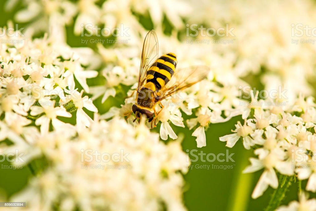 hover-fly on a flower stock photo