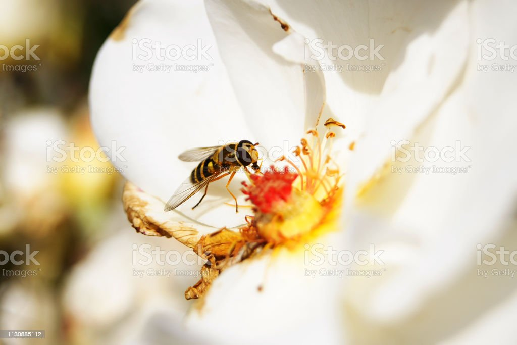 Hoverfly on a flower pollinating stock photo