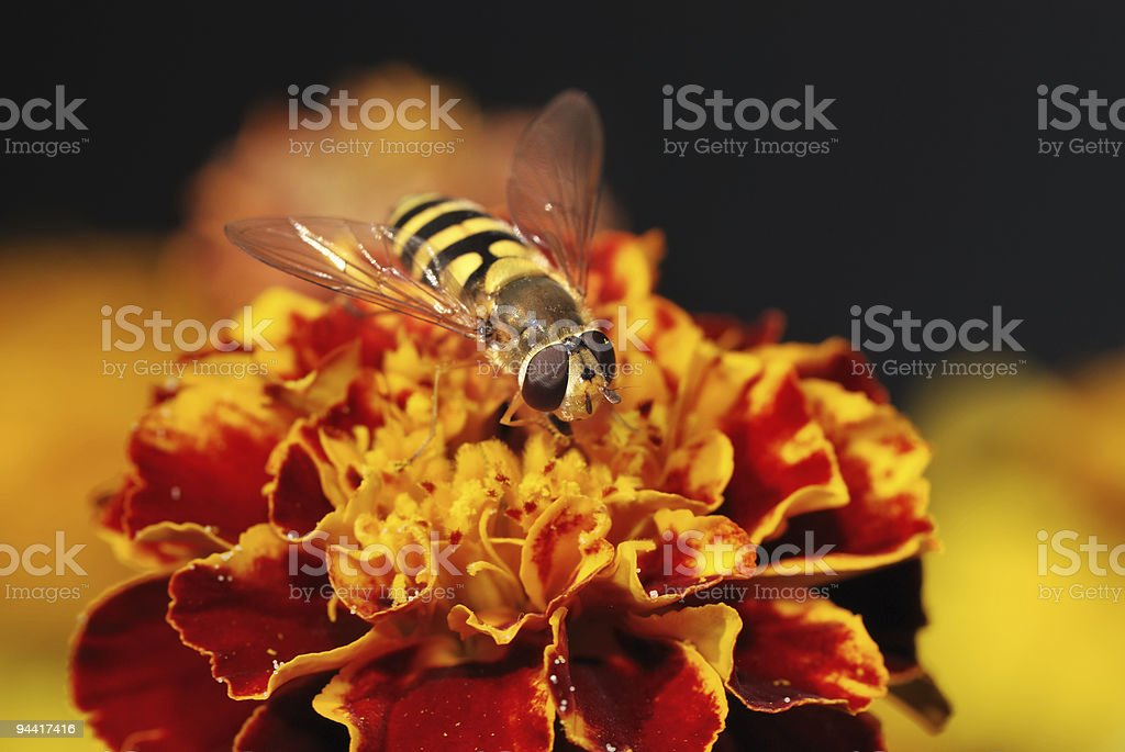Hoverfly on a orange blossom royalty-free stock photo