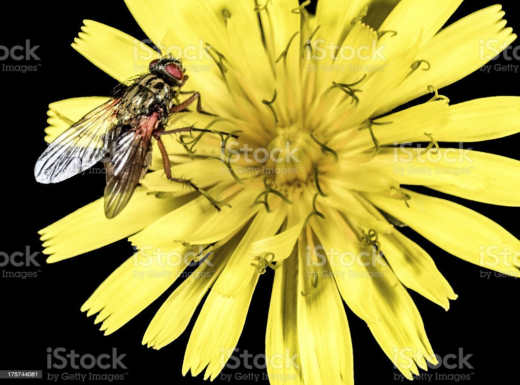 Hoverfly on a yellow flower macro royalty-free stock photo