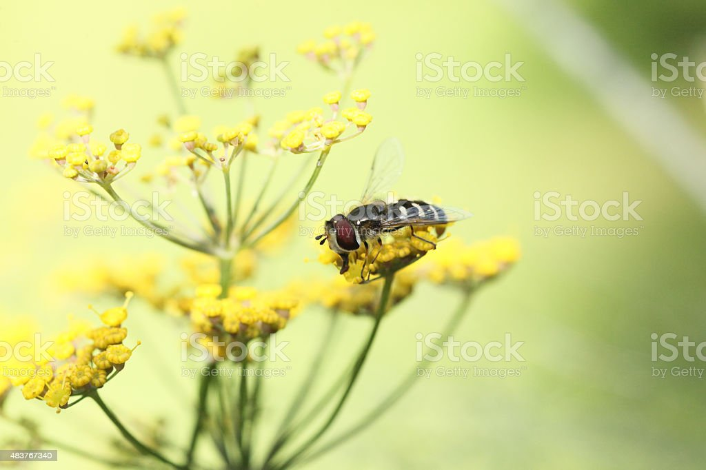 Hoverfly on fennel stock photo