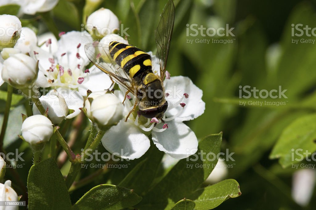 Hoverfly on flower of Hawthorn royalty-free stock photo