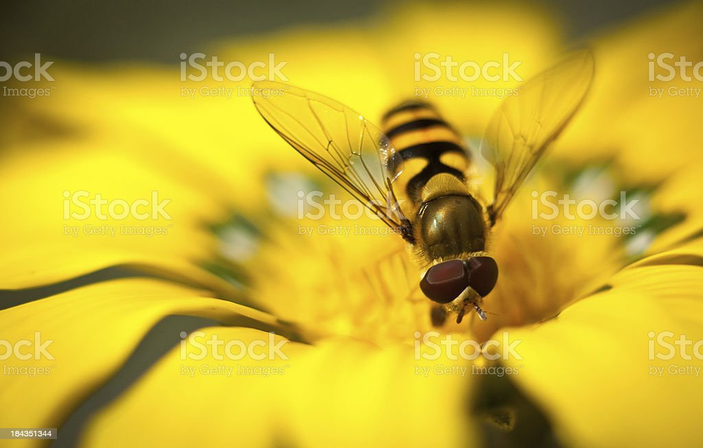 Hover-fly on flower stock photo