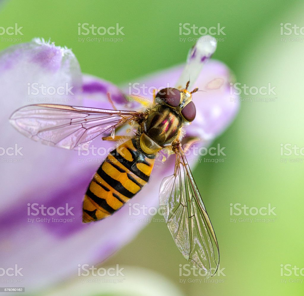 Hoverfly on flower stock photo