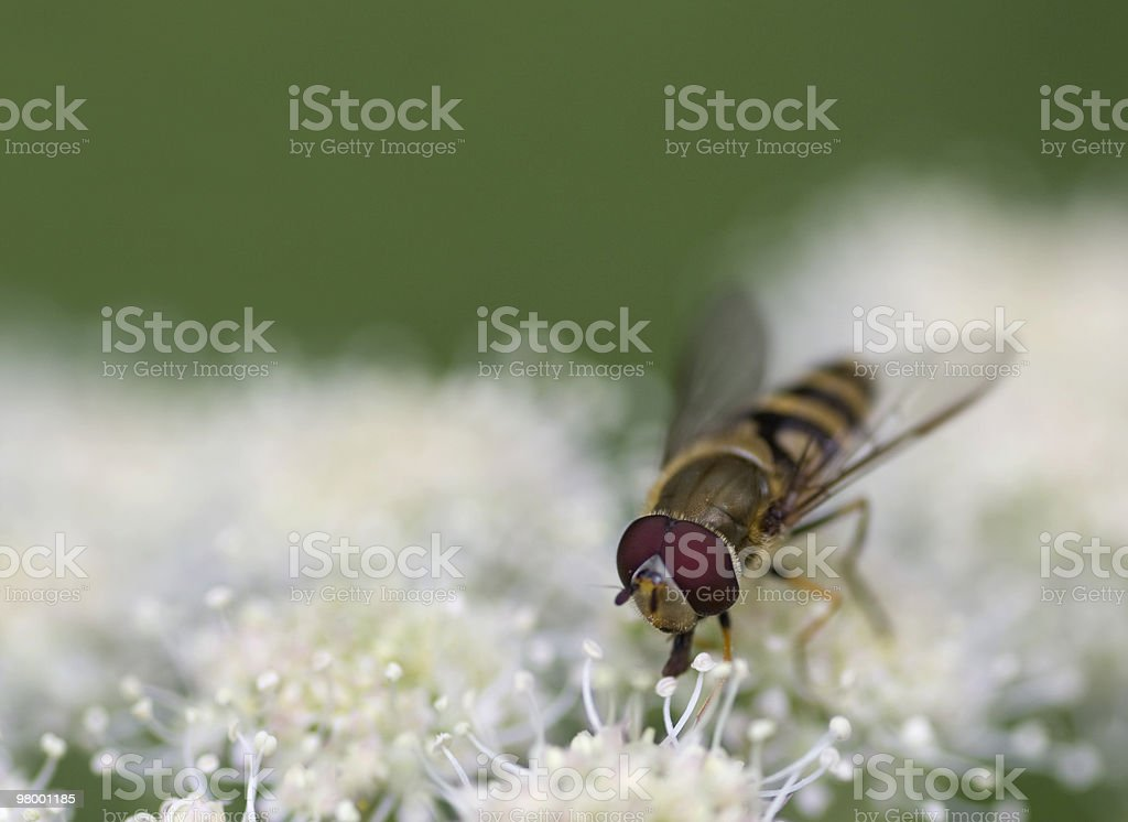 Episyrphus Balteatus em hogweed foto royalty-free