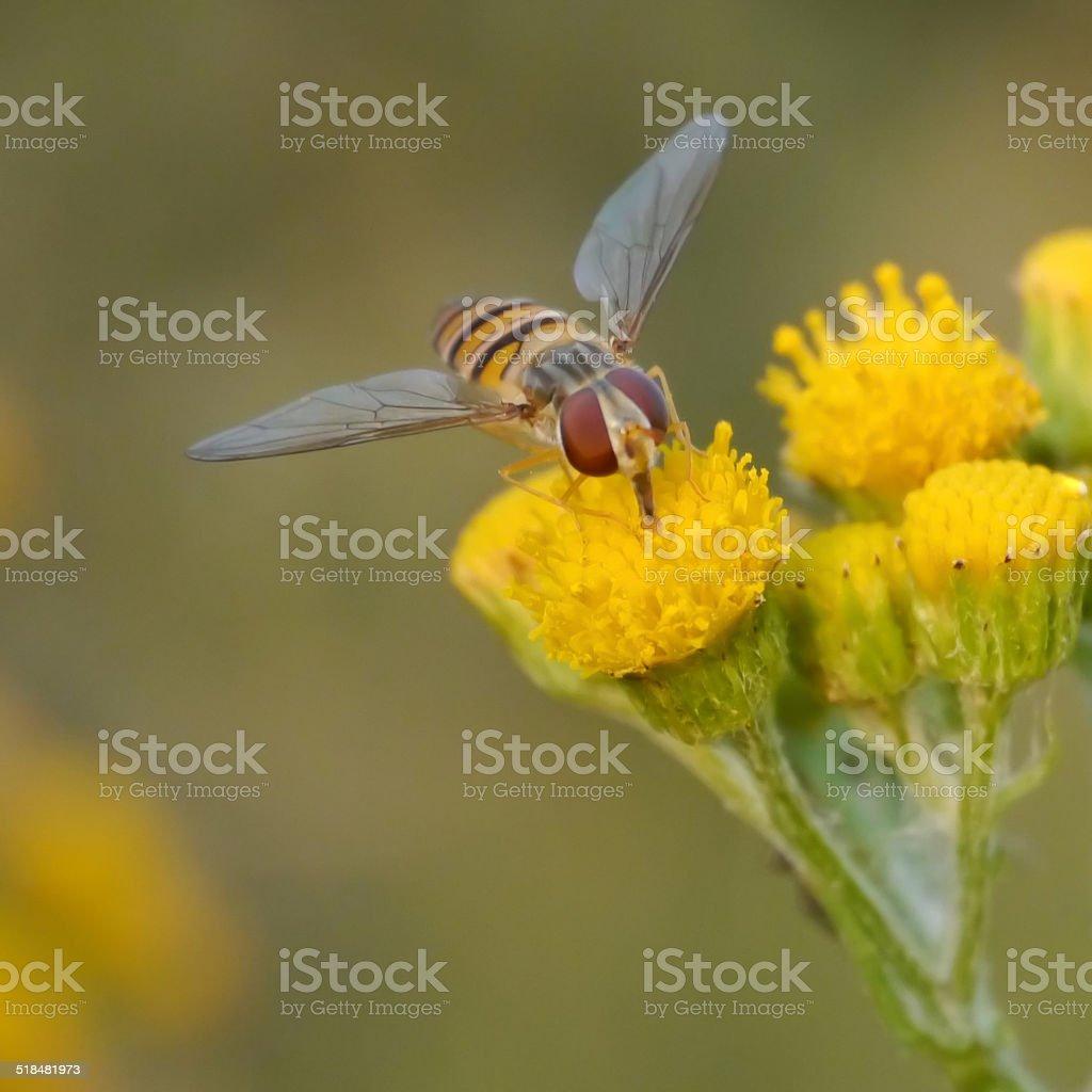 Hoverfly on tansy stock photo