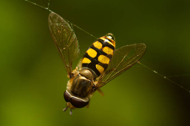 Hoverfly on the web Hoverflies caught in an evil spider network. ensnare stock pictures, royalty-free photos & images