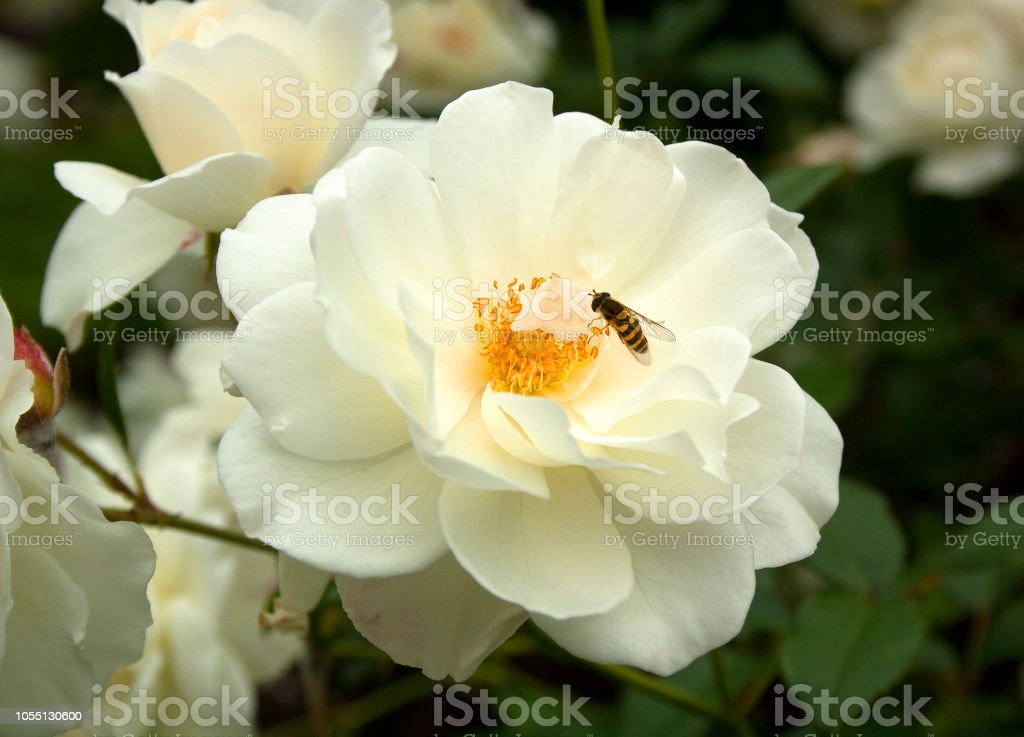 Hoverfly On White Camellia Flower Surrey England Stock Photo