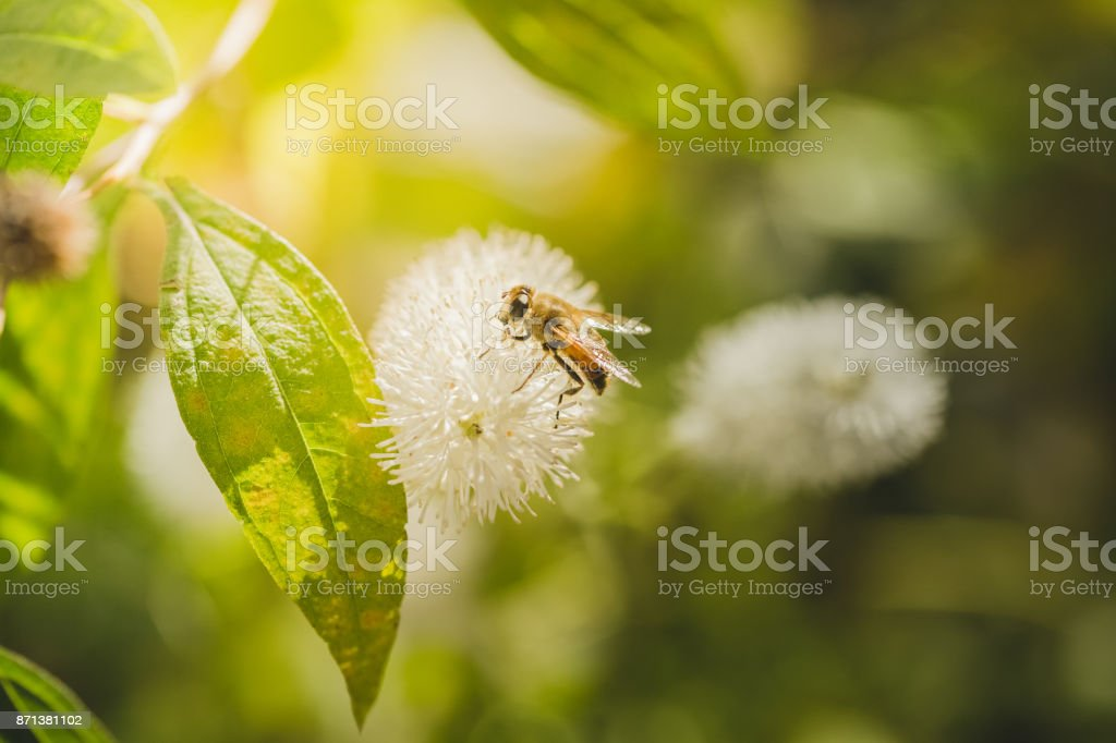 Hoverfly on white fluffy flower in sunny garden royalty-free stock photo