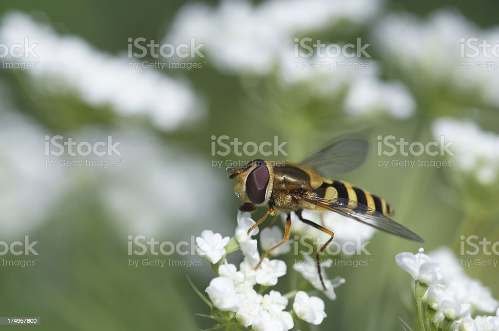 Hoverfly on wildflower royalty-free stock photo