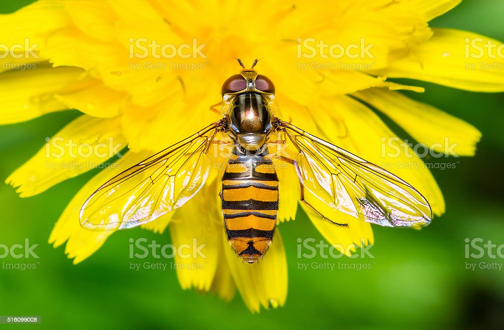 Hoverfly on Yellow Dandelion Flower stock photo