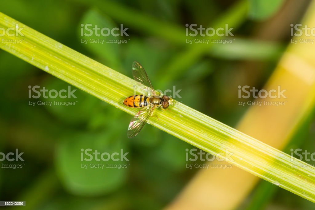 Hoverfly perched on a leaf in South Windsor, Connecticut. stock photo