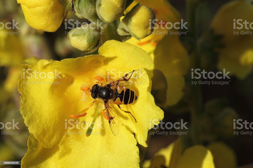 Hoverfly. stock photo