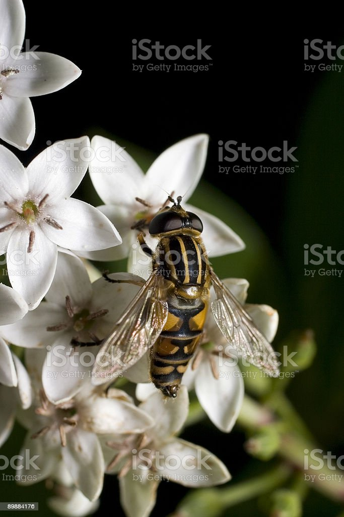 Hoverfly (Syrphidae) royalty-free stock photo
