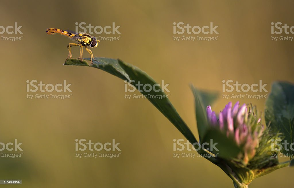 hover-fly royalty-free stock photo