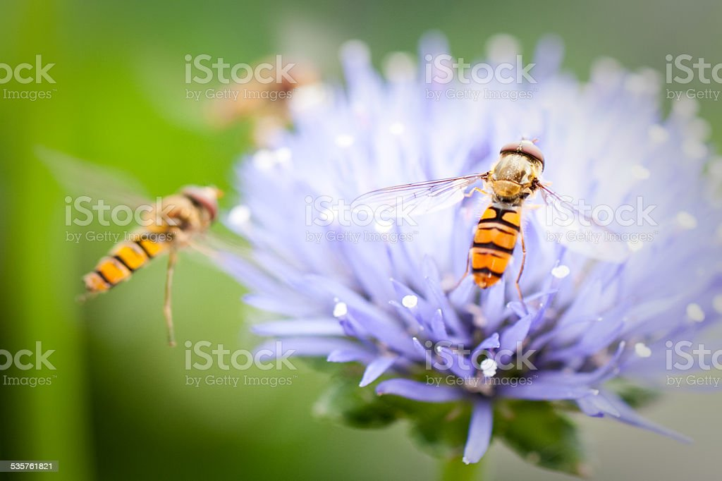 Hoverflys on a flower. stock photo