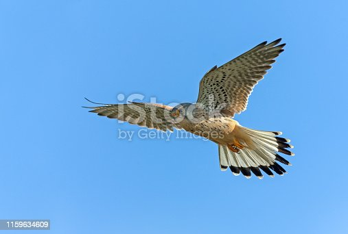 Male common kestrel hovers about ten meter above the ground, searching for prey.