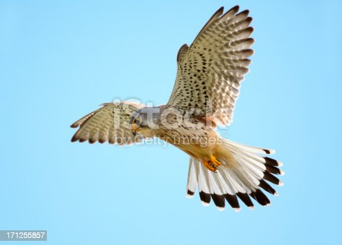 Hovering common kestrel against a blue sky.