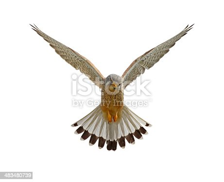 Hovering common kestrel against a white background.