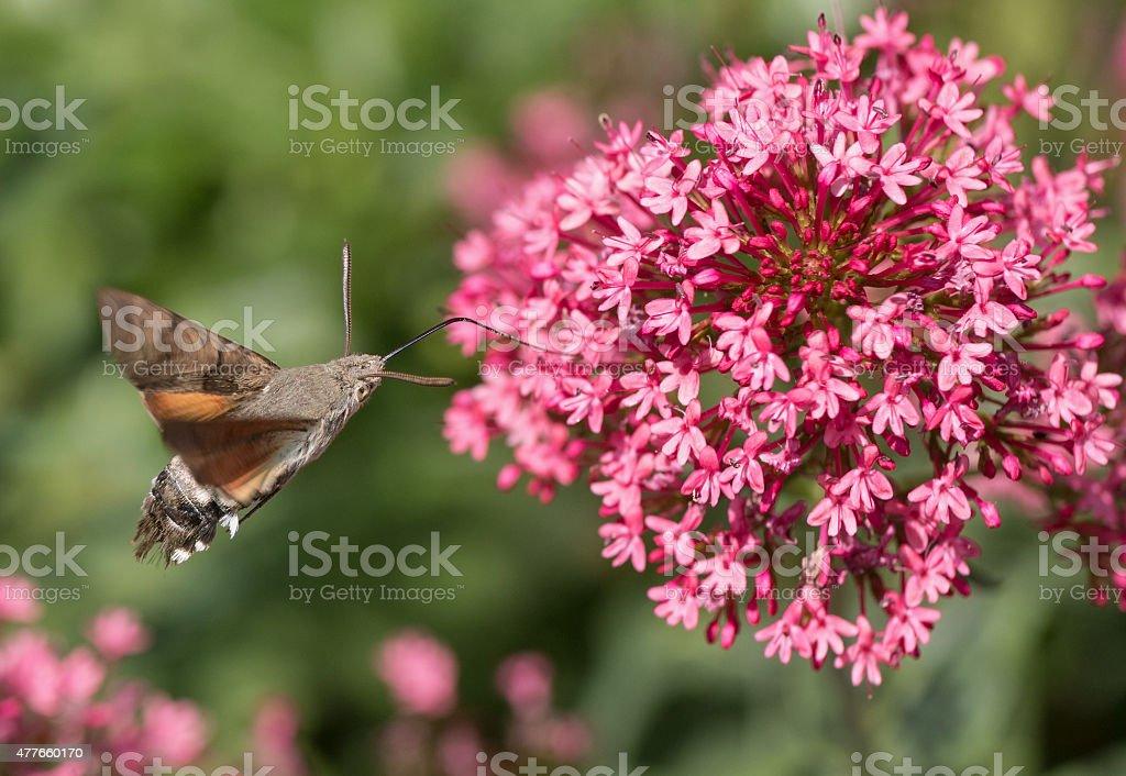 Hovering hummingbird hawk-moth (Macroglossum stellatarum) stock photo