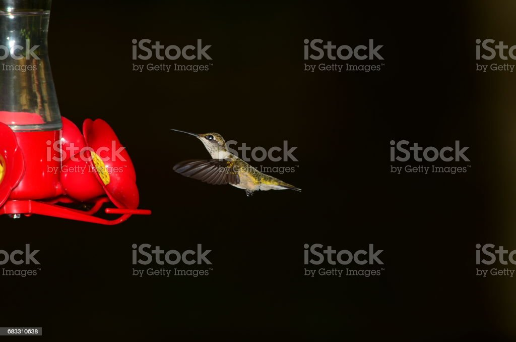 Hovering Hummingbird near feeder with wings extended forwards foto stock royalty-free