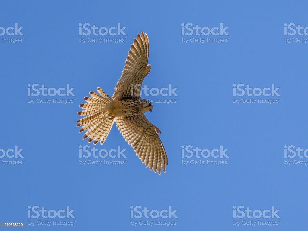 Hovering Kestrel stock photo