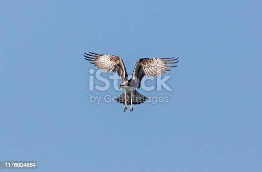 Hovering osprey against a blue sky.